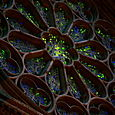 exterior of the Rose Window, illuminated from within...